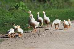Family of geese and white ducks crossing the road Stock Image