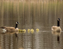 A family of geese. Royalty Free Stock Photos