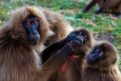 Family of gelada baboons Stock Photo