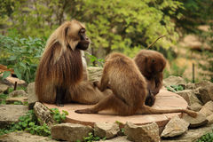Family of gelada monkeys sitting od a rock Stock Image