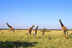 Family of Giraffe in Botswana Stock Photography