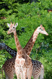 Family of giraffes Stock Photography