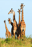 Family of giraffes. In  the Masai Mara Reserve (Kenya Royalty Free Stock Photo