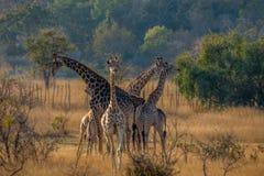 Family of giraffes going to feed, Matopos, Zimbabwe stock photos