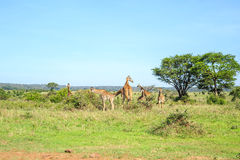 Family of giraffes in Nairobi National Park, Kenya Royalty Free Stock Images