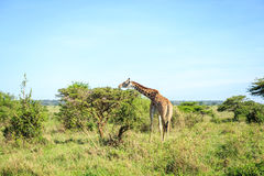 Family of giraffes in Nairobi National Park, Kenya Stock Photo