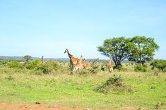 Family of giraffes in Nairobi National Park, Kenya Stock Image