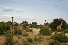 Family of Giraffes. On a Safari in Tsavo East National Park, Kenya Stock Photos