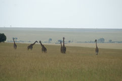 Family of giraffes. A family of giraffes on the savanna of Kenya stock photos