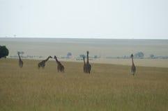 Family of giraffes. A family of giraffes on the savanna of Kenya Stock Photos
