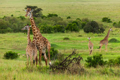 Family of giraffes is in a shroud Stock Images