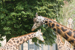 Family of giraffes Royalty Free Stock Photos