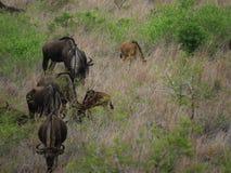 Gnu family grazing in line stock photo
