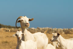 Family goat portrait. A beautiful moment of the mother and her babies. Stock Images