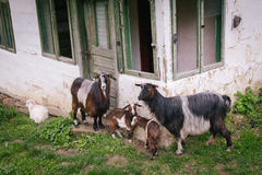 Family goats Stock Images