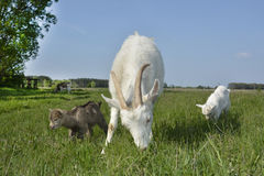 The family of goats grazing in the meadow. Stock Photos