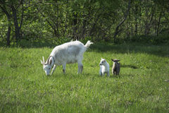 The family of goats grazing in the meadow. Royalty Free Stock Photography