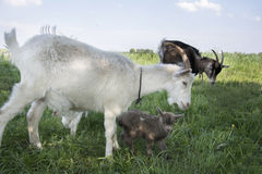 The family of goats grazing in the meadow. Royalty Free Stock Photos