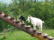 Family of goats royalty free stock photography