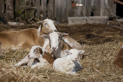 Family of Goats lying in Hay stock photos