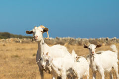 Family of goats on a sunny day at the nature. Royalty Free Stock Photo