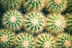 Family of Golden Barrel Cactus - Echinocactus grusonii. Cactus backround stock images