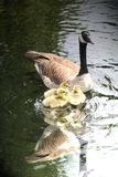Family goose. Resting on lake royalty free stock photo