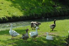 A family goose on grass. A family of gooses on grass, near the water of a river, green park stock photos