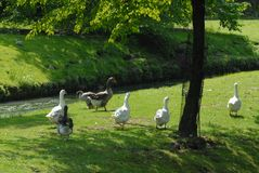A family goose on grass near a tree. A family of gooses on grass, near the water of a river, green park, with rabbits in the background royalty free stock photo