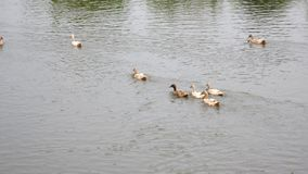 Family of Goose swimming in pond Stock Photography