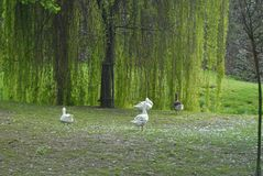 A family goose under a tree. A family of gooses on the grass under a weeping willow in a green park royalty free stock photo