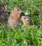 Family gophers Royalty Free Stock Image
