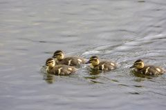 Family of goslings swimming in a lake in Norway. Family of goslings swimming in a lake in a park at park in Harstad in Norway Royalty Free Stock Photos