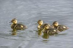 Family of goslings swimming in a lake in Norway. Family of goslings swimming in a lake in a park at park in Harstad in Norway Stock Photo
