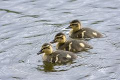 Family of goslings swimming in a lake in Norway. Family of goslings swimming in a lake in a park at park in Harstad in Norway Stock Images