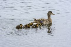 Family of goslings swimming in a lake in Norway. Family of goslings swimming in a lake in a park at park in Harstad in Norway Stock Photos