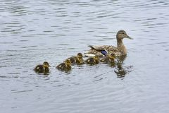 Family of goslings swimming in a lake in Norway. Family of goslings swimming in a lake in a park at park in Harstad in Norway Stock Photography