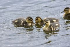 Family of goslings swimming in a lake in Norway. Family of goslings swimming in a lake in a park at park in Harstad in Norway Stock Image