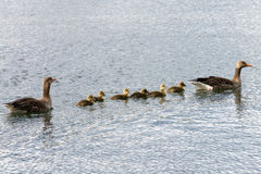 Family of gray goose swimming over sea Stock Image