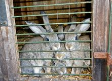 Family of gray rabbits in a cage. stock photo