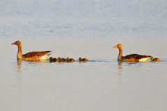 Family of graylag geese swimming on a pond Royalty Free Stock Photography