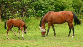 The Family That Grazes Together, Stays Together!. Mare and her colt grazing together Royalty Free Stock Photo