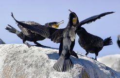 Family of great Cormorants Stock Photography