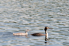 Family of great crested grebes (Podiceps cristatus) Stock Images