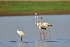 Family of Greater flamingo bird. Standing in the water of river. Blue water and upper side green and brown land providing beauty to the view.nThis picture click stock image