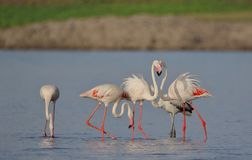 Family of Greater flamingo bird. Family  of greater flamingo bird fun in the water of river. Blue water and upper side green and brown land providing beauty to royalty free stock images