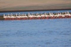 Group of greater flamingo bird. Family of greater flamingo bird walking in line in water of the river. this picture click at mahi back water, banswara, rajasthan stock photography
