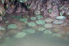 A family of green sea anemones stock images