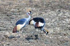 Family of Grey Crowned Cranes feeding on the dry plains in South Luangwa National Park Stock Images