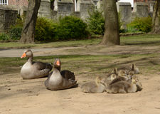 A family of grey lag geese with parents and goslings. Stock Image